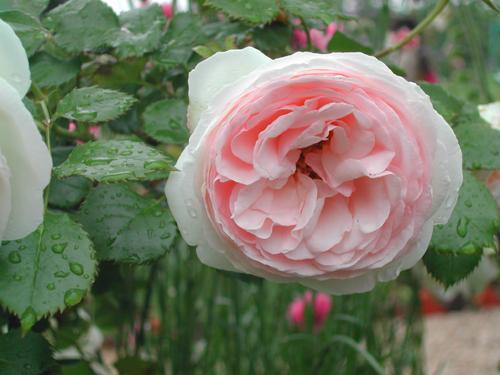 モネの庭園のバラたち