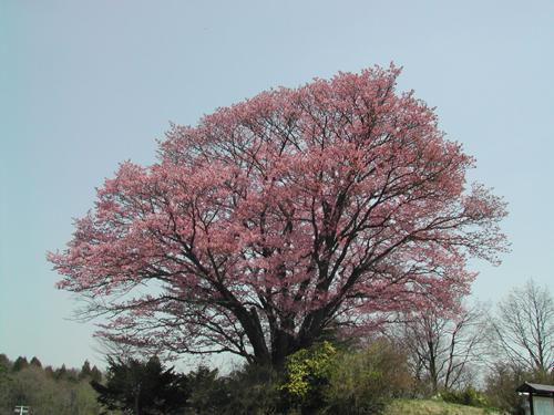地蔵久保桜
